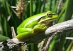 bel-frog-from-kronos